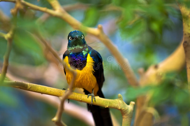 Golden-breasted Starling. Perched on the tree branch stock image