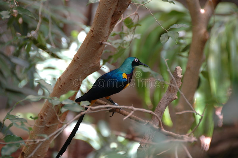 Golden Breasted Starling. A exotic breed of bird call the Golden Breasted Starling royalty free stock image