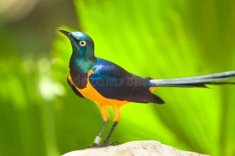 Golden Breasted Starling. A bright multi hued and iridescent Golden Breasted Starling perched on a rock in a bird park royalty free stock photo