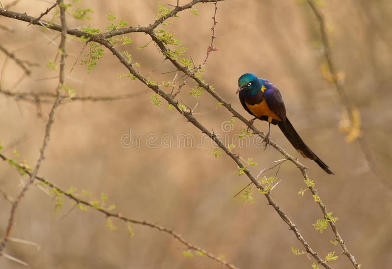 Golden-breasted Starling on acacia. A Golden-breasted Starling looks down from the branch of a acacia tree typical to Tsavo national park in Kenya stock image