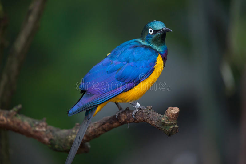 Golden-breasted starling Lamprotornis regius. Also known as the royal starling stock images