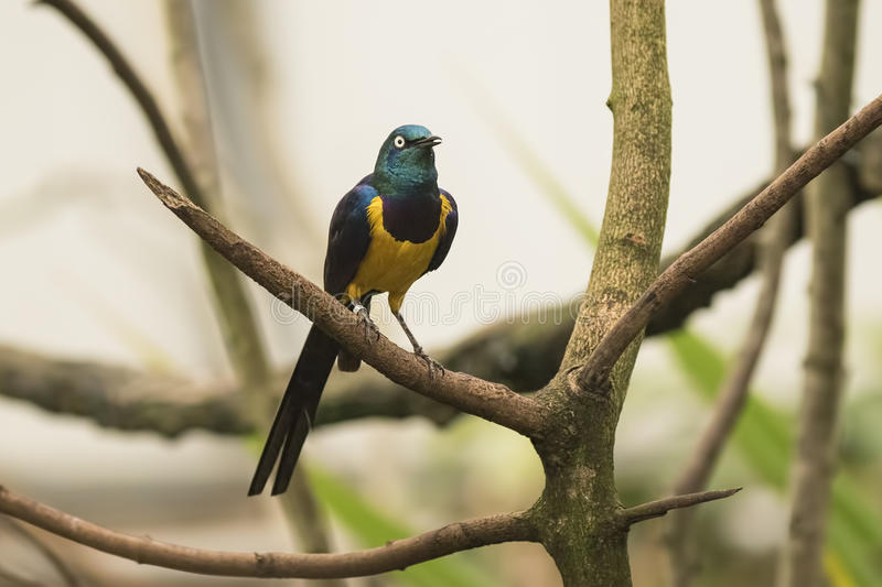 The golden-breasted starling. (Lamprotornis regius), also known as royal starling.  is distributed in the grassland, savannah and shrubland of East Africa, from stock photo