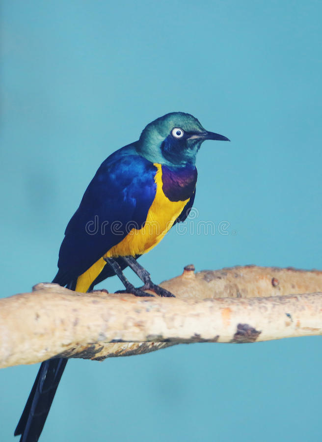 Golden breasted starling. Royal Starling is a medium-sized songbird. It lives in Africa stock photo