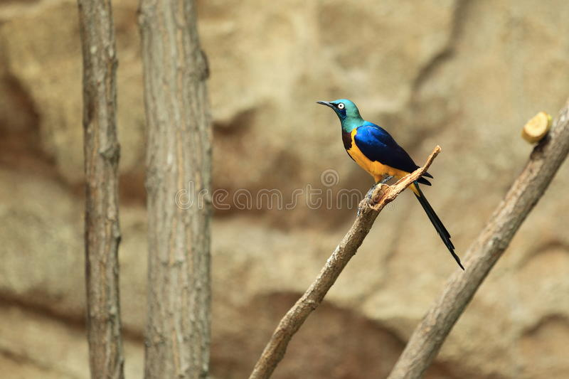 Golden-breasted starling. The golden-breasted starling sitting on the branch royalty free stock photos