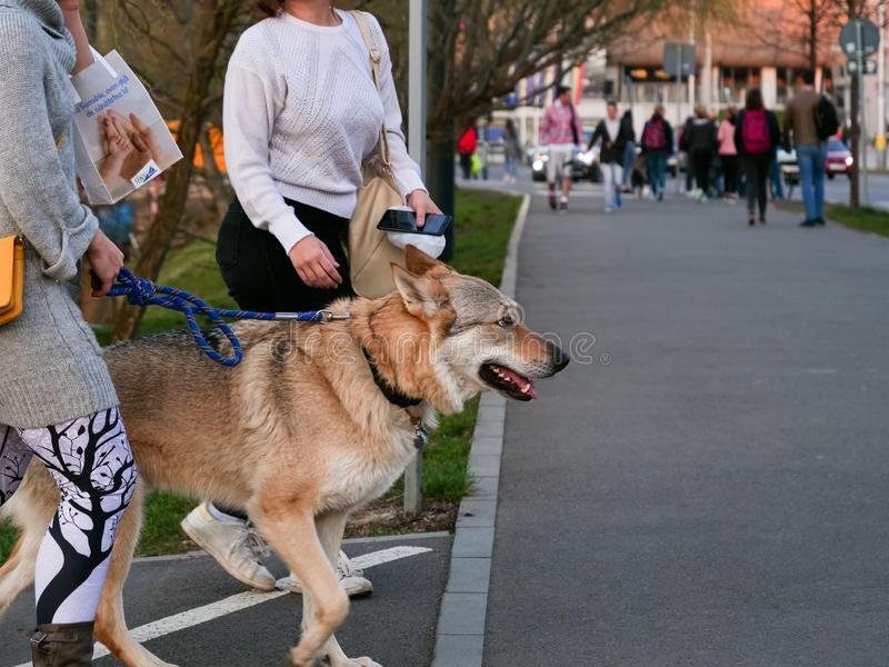 Golden brown German Shepherd waits on leash. foreign text: At Sensiblu we take care of your health stock images