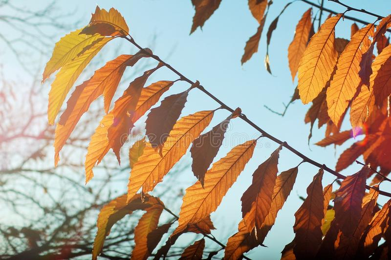 Golden and brown leaves in autumn under the sunlight royalty free stock photo
