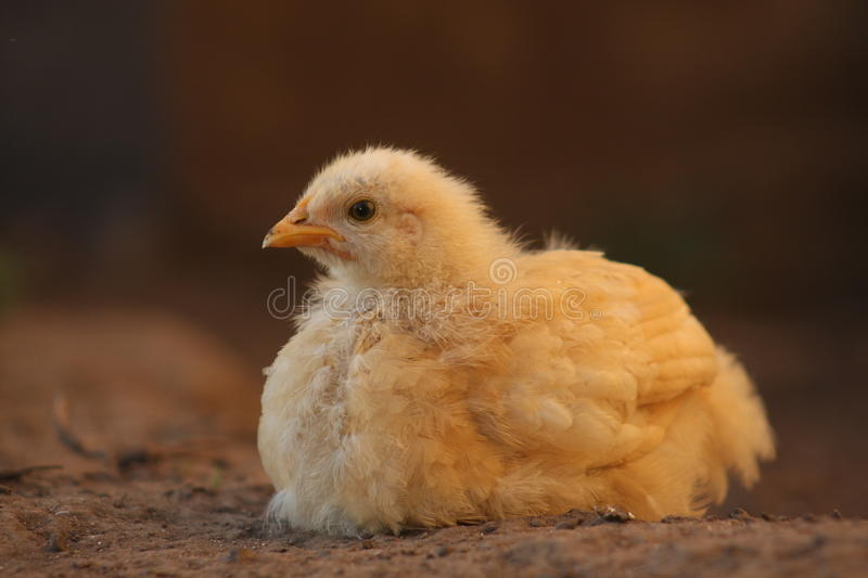 Golden Buff chicken royalty free stock photo
