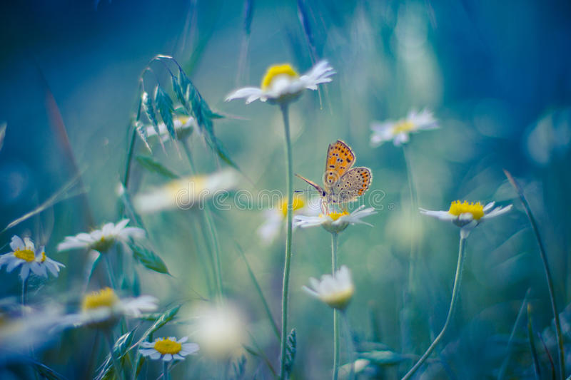 Golden Butterfly on daisy flowers royalty free stock photos