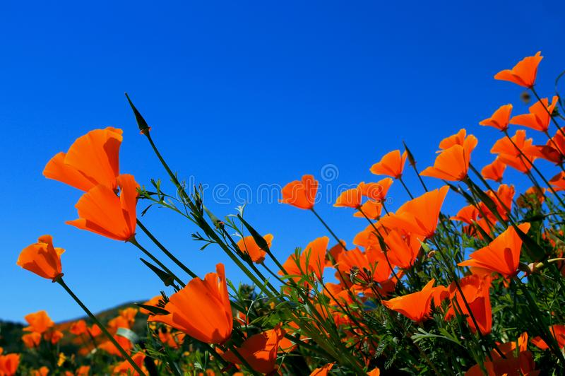 Golden California poppy flowers, Walker Canyon stock photography