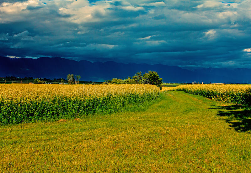 Golden Canola Crop. This image of a golden canola crop before harvest was taken near Kalispell, Montana with the color afforded in the early evening with royalty free stock photos