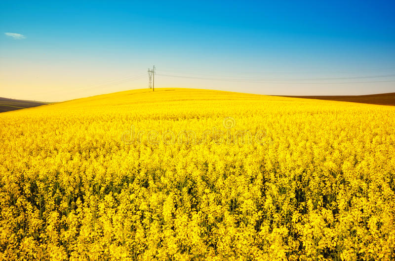 Golden canola field landscape stock photo