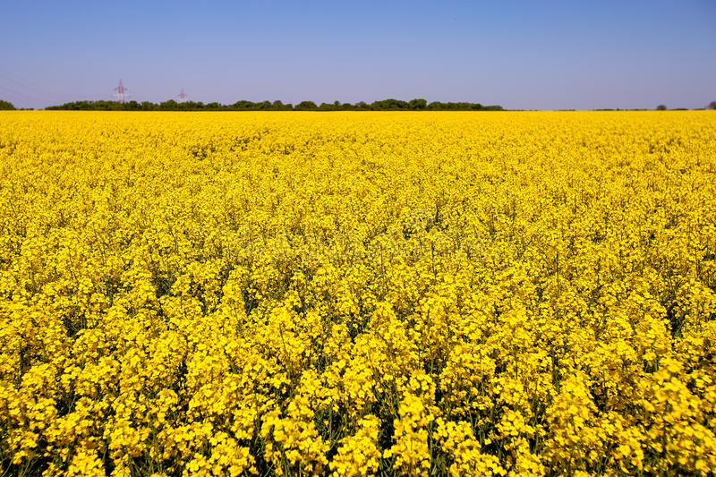 Golden canola flower field royalty free stock photos
