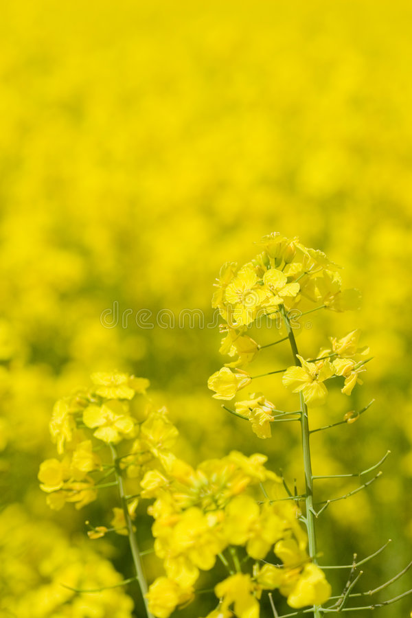 Golden canola (rape) royalty free stock photography