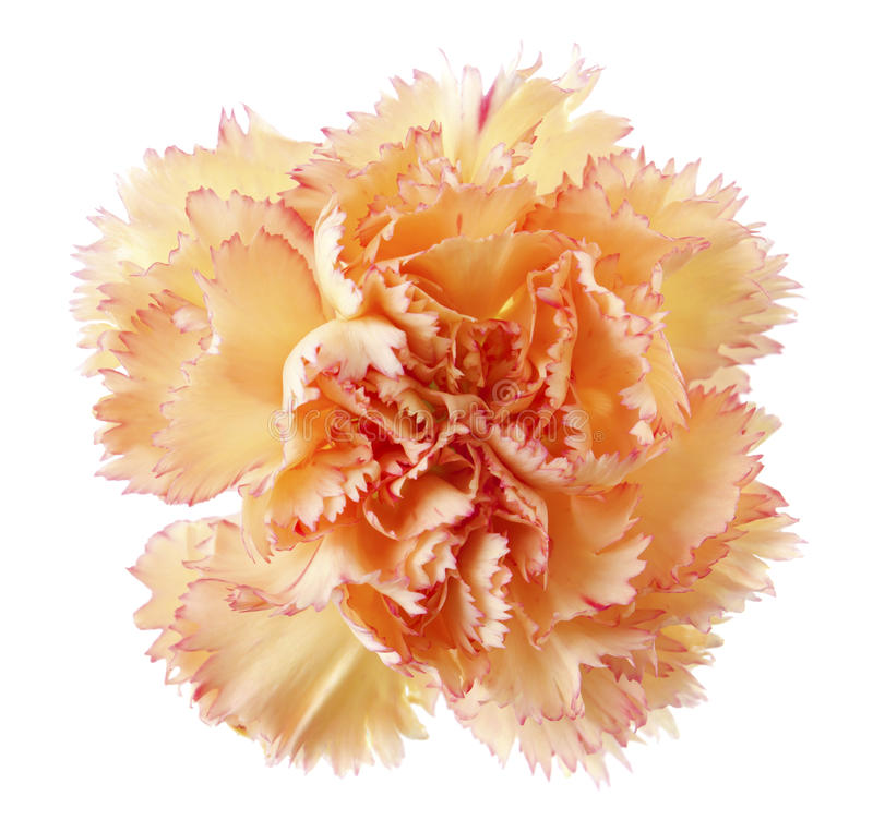 Golden carnation flower. Head isolated on white stock photography