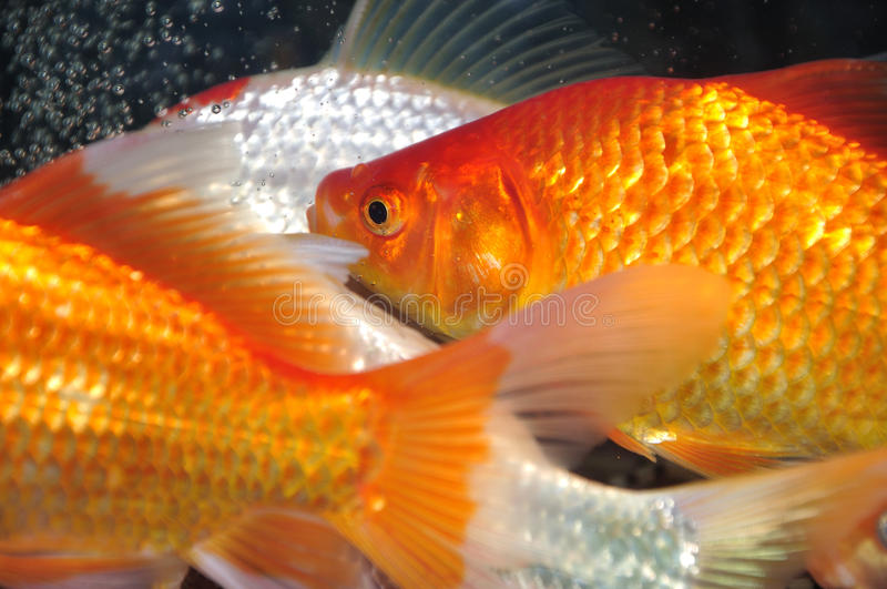 Golden carp fish royalty free stock images