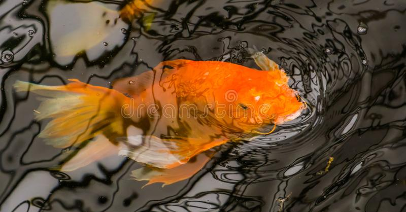 Golden carp swimming underwater and coming above water with his mouth, popular ornamental fish and pet. A golden carp swimming underwater and coming above water stock photography