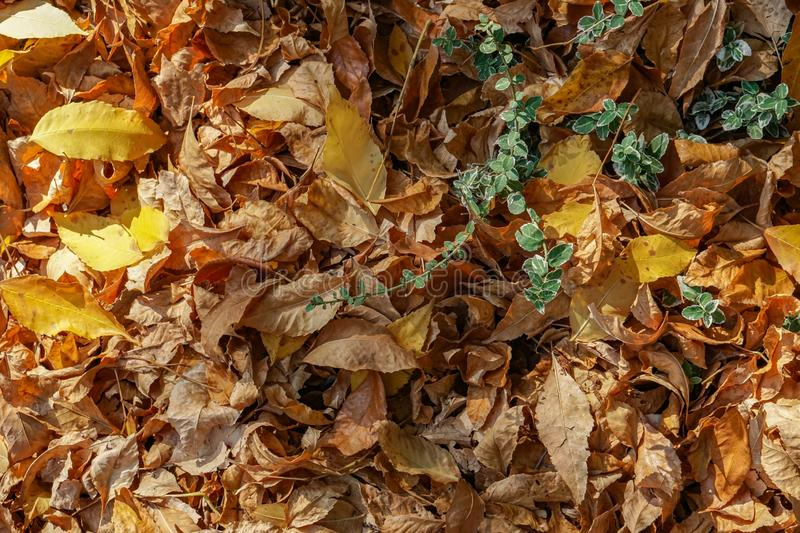 A golden carpet made of fallen autumn leaves and a green plant contrasting yellow - orange hues. stock photography