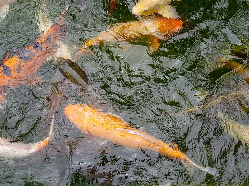 Golden carps and koi fishes in the pond stock photos