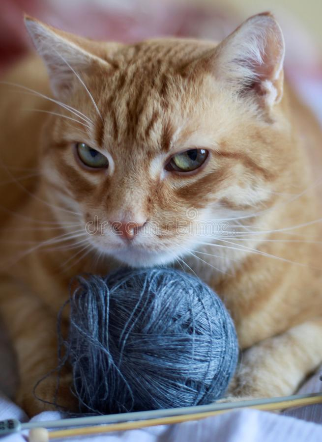Golden cat with blue ball of yarn royalty free stock photography