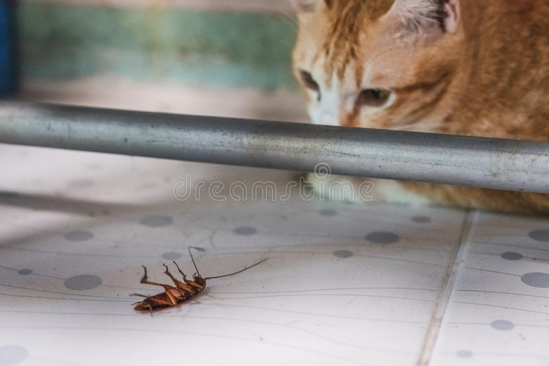 Golden Cat gazing at a cockroach royalty free stock images