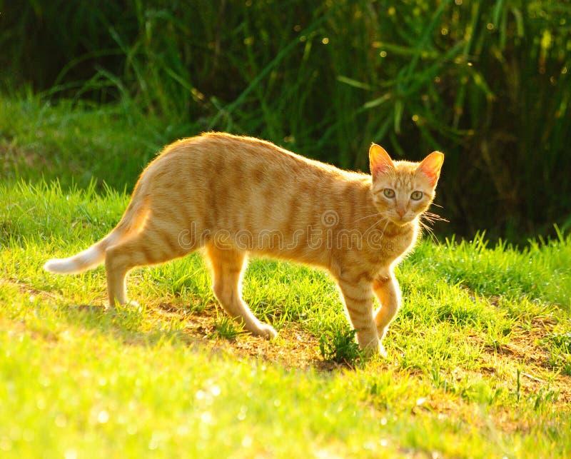 Download Golden cat2 stock image. Image of seeking, eyes, moustache - 10444231