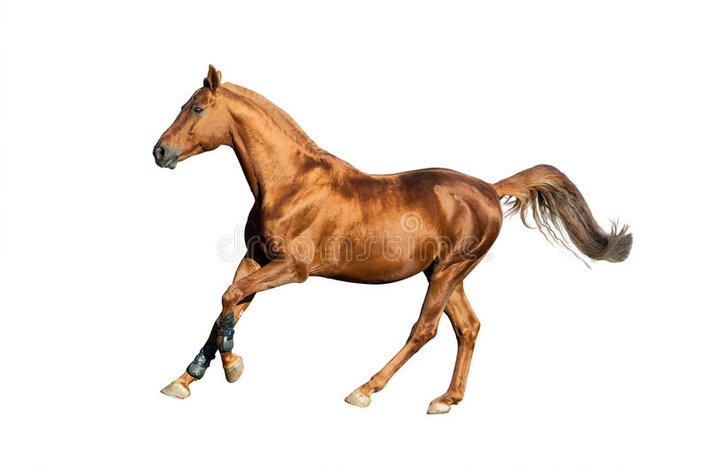 Golden chestnut horse isolated. Over a white background stock image