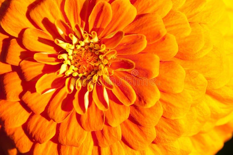 Golden chrysanthemum close-up royalty free stock photo