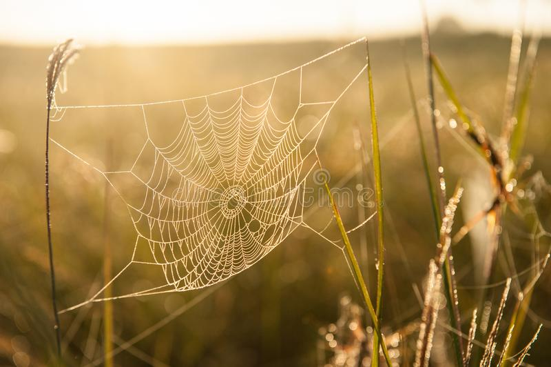 Golden cobweb with glistening morning dew. stock image