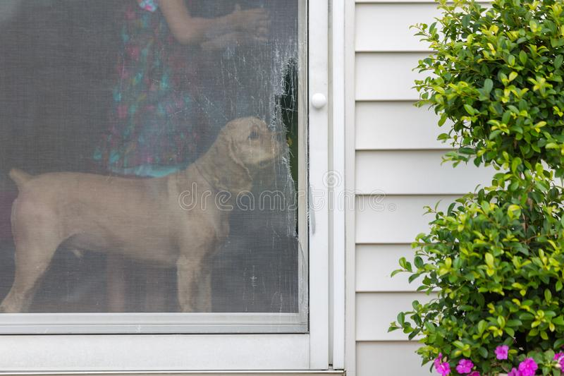 Golden cocker spaniel eyeing a damaged screen door. Opening onto an exterior patio standing inside sniffing the ripped wire mesh stock images