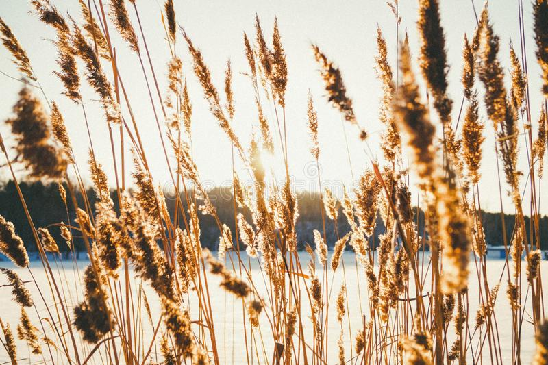 Golden-colored grass reed grows in the winter royalty free stock photo