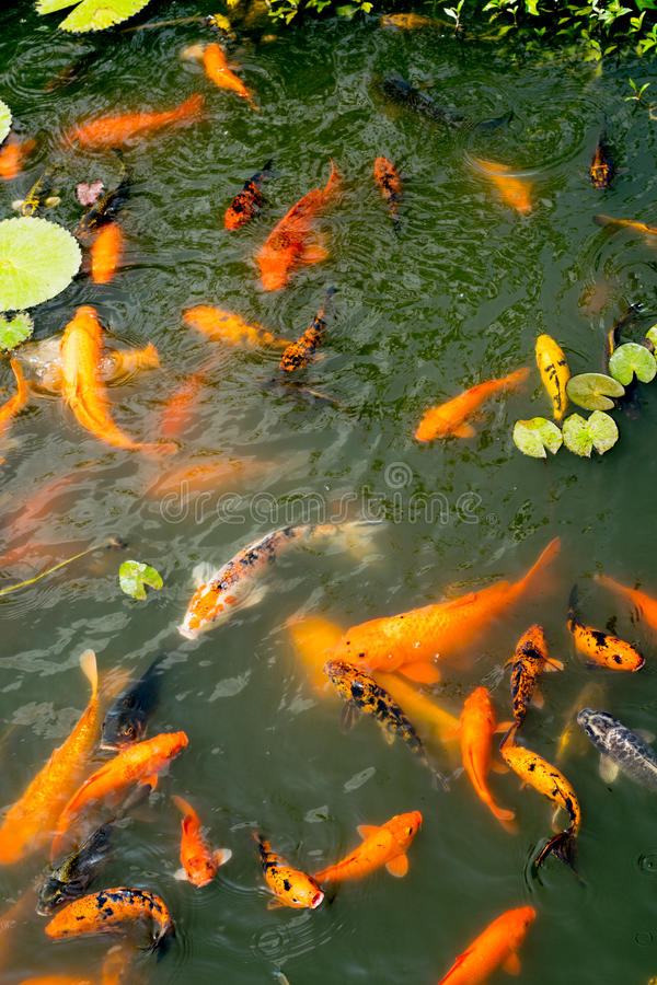 Golden and colorful koi fish in Isha Coimbatore. Colorful beautiful golden and orange fishes in Isha foundation ,Coimbatore, India royalty free stock photo