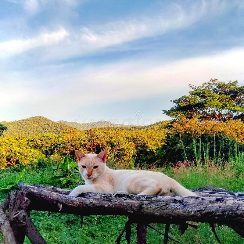 Golden Colour Cat resting on wooden bench with mountain view in the background stock images