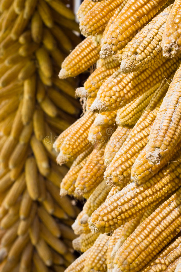 Free Golden Corn Cobs Hanging To Dry (vertical) Stock Photos - 12424643