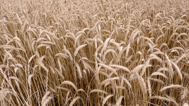 Download Golden corn field stock photo. Image of plants, field - 10281492
