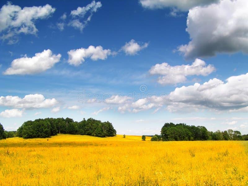 Golden Corn field. In hot summer day stock photo