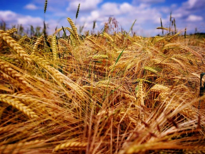 Golden corn field stock image