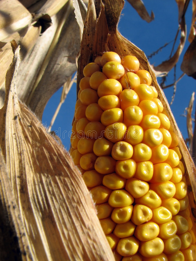 Free Golden Corn In The Cornfield Royalty Free Stock Images - 1498349
