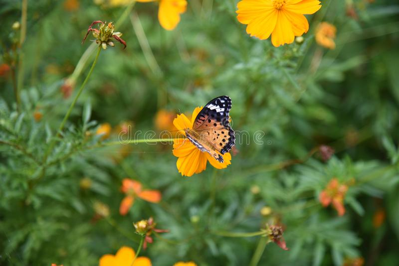 Golden cosmos Flowers. / Butterflies flocking to Golden cosmos royalty free stock photos