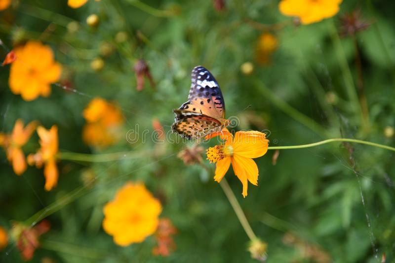 Golden cosmos Flowers. / Butterflies flocking to Golden cosmos royalty free stock images