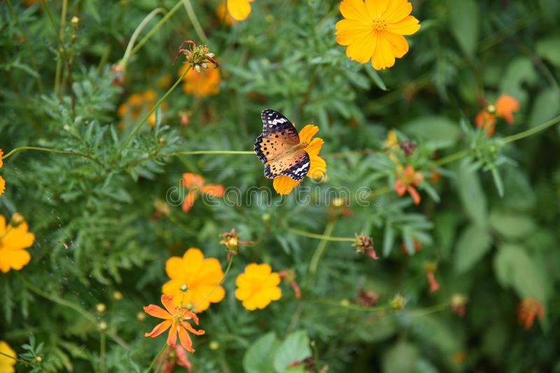 Golden cosmos Flowers. / Butterflies flocking to Golden cosmos royalty free stock photo