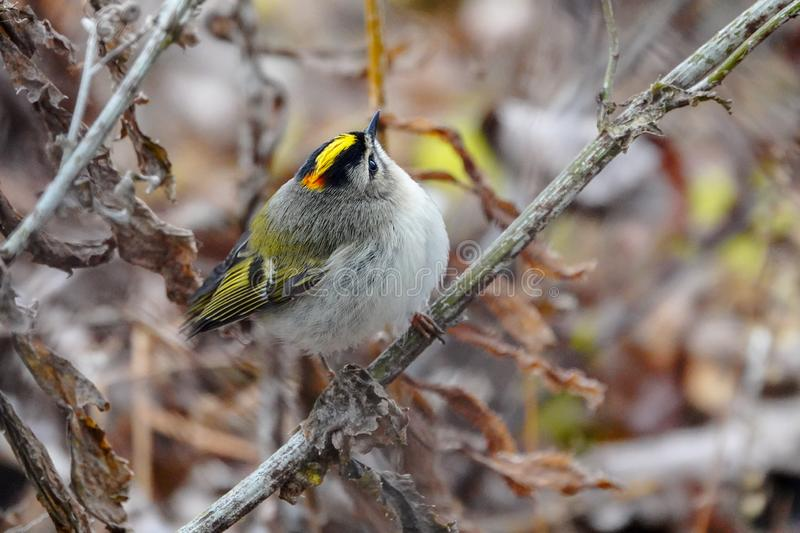 Golden-crowned Kinglet in Dried Autumn Vegetation royalty free stock images