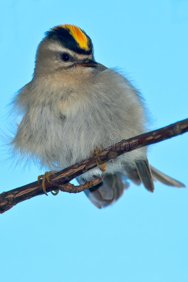 Golden-crowned Kinglet royalty free stock photo