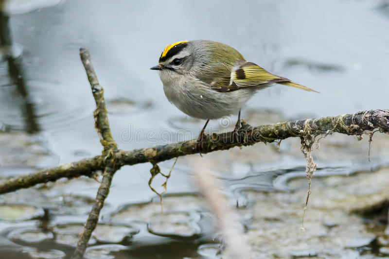 Golden-crowned Kinglet. Perched on a branch royalty free stock photo