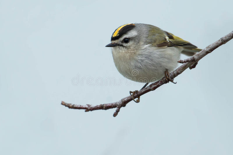 Golden-crowned Kinglet royalty free stock photos