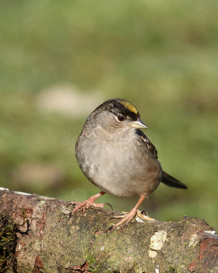 Golden-crowned Sparrow stock image