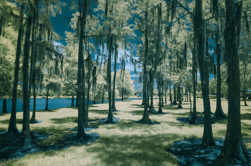 Golden Cypress Trees in the Park. Infrared photo of cypress trees in the park in Orlando Florida. Golden leaves and grass stock images