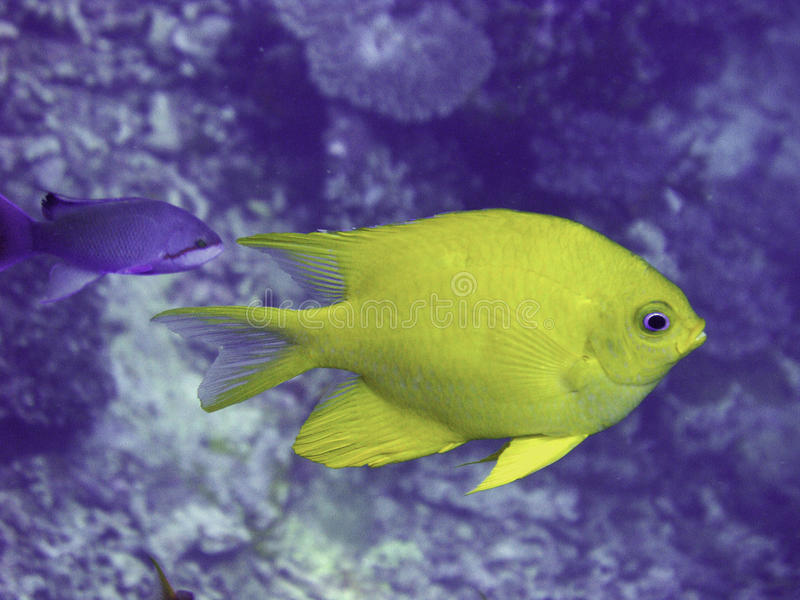 Golden damsel fish stock photography