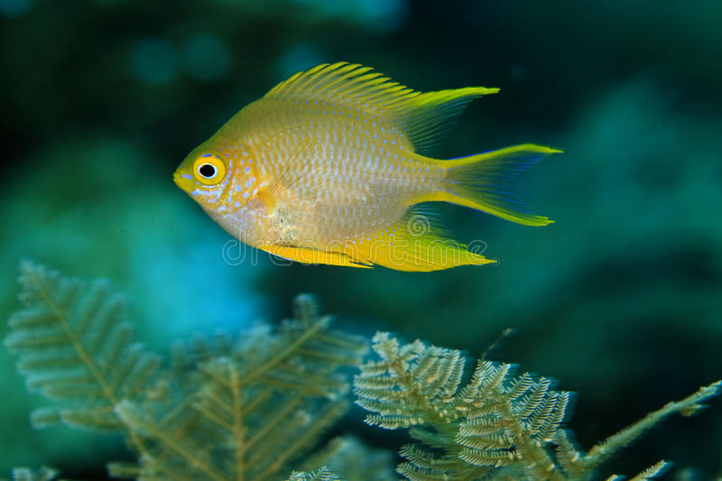 Download Golden damselfish stock photo. Image of underwater, damselfish - 12125706