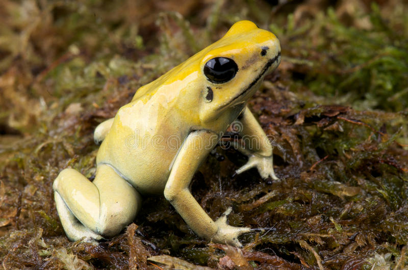 Golden dart frog. Phyllobates terribilis aka the golden dart frog is the most venomous vertebrate known on this planet today. Its skin contains around 1 stock photos