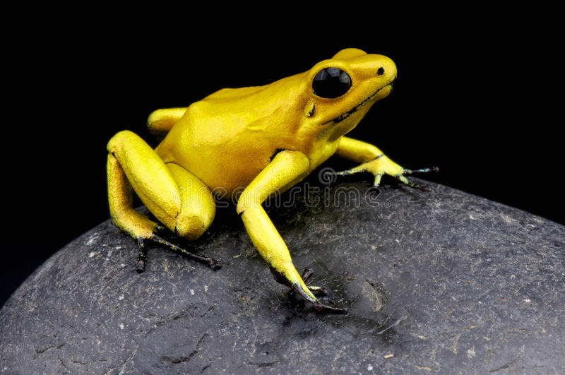 Golden dart frog / Phyllobates terribilis. Considered the most toxic animal alive on the planet today, the golden dart frog from Colombia royalty free stock photo